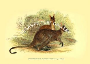 RED-NECKED WALLABY - TASMANIAN VARIETY - Macropus Ruficollis